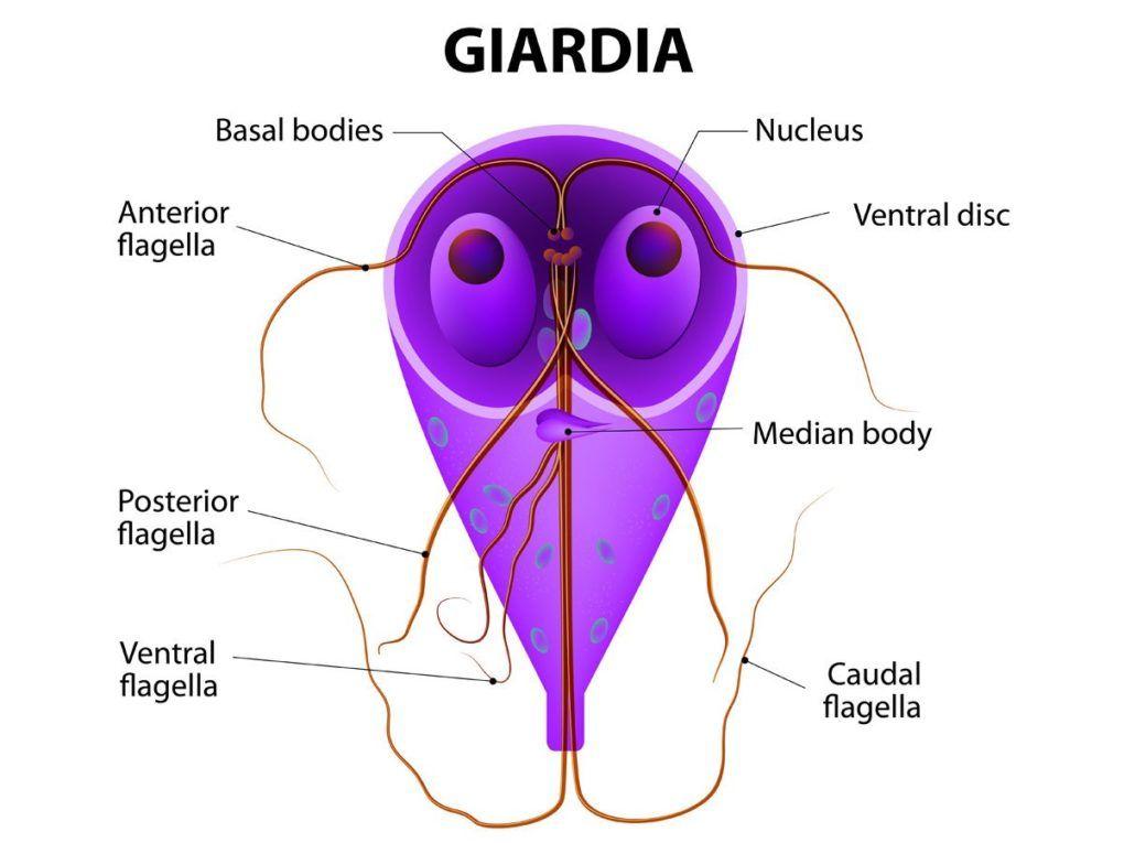 medicină pentru giardiază ferges modul de afișare