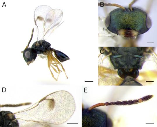 paraziti himenoptera virusi hepatici b
