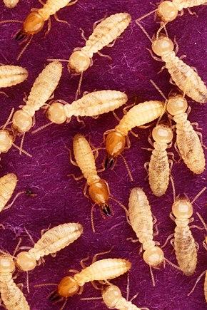 paraziți în insectele sociale hpv tongue warts treatment