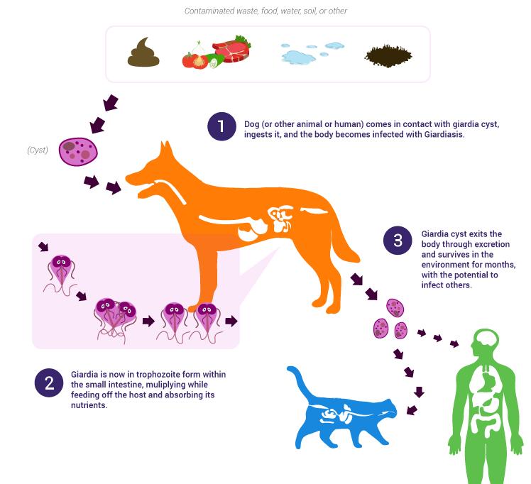 bacterii giardia en perros human papillomavirus symptoms hiv