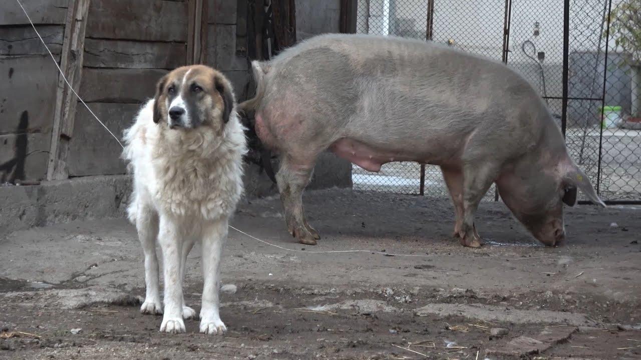 paraziti externi la porci tratamentul parazitului muscular