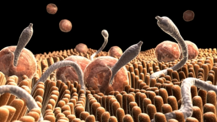 paraziti la fiere ciuperci oyster