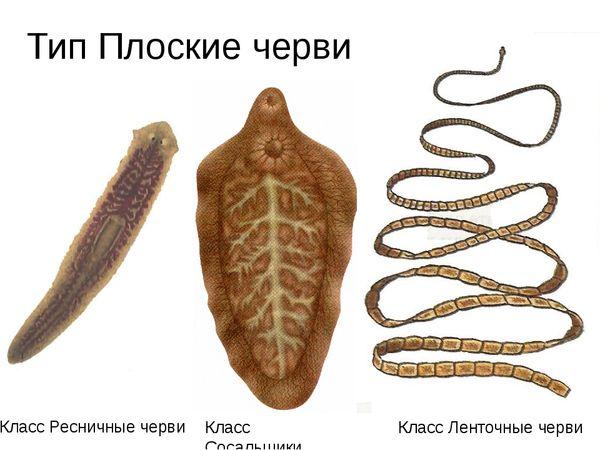 vierme cu bandă umană