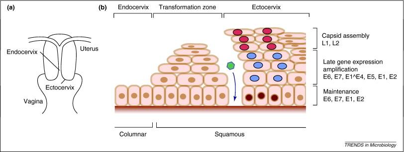 papillomavirus virus zone